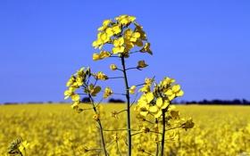 Обои растение, canola, рапс, поле, небо