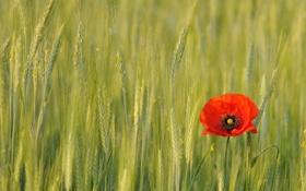 Картинка колоски, цветок, поле, мак, красный, цветы