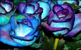 Обои розы, клумба, куст, стебель, лепестки, цвет, бутон