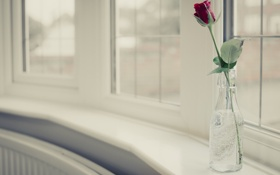 Картинка цветы, фон, роза, ваза