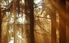 Обои лес, лучи, свет, дримучий