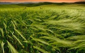 Картинка пшеница, поле, закат, природа