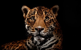 Обои хищник, ягуар, дикие кошки