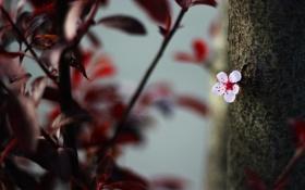 Обои цветок, листья, природа, вишня, дерево, цветение, flower