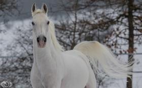 Картинка морда, конь, лошадь, бег, грива, хвост, грация