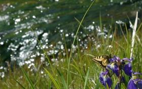 Картинка трава, фото, лето, ирис, бабочка, цветы