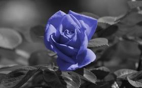 Обои роза, кадр, фиолетовая, чёрнобылый
