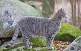 Обои кошка, кот, камни, мох, серая, стоит