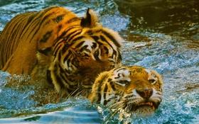 Обои бассейн, зоопарк, игра, тигр, пара