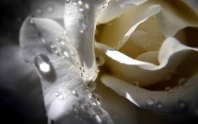 Обои капли, цветок, белая роза, макро