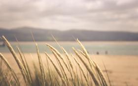 Обои колоски, горизонт, трава