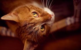 Обои взгляд, Кот, рыжий, лежит