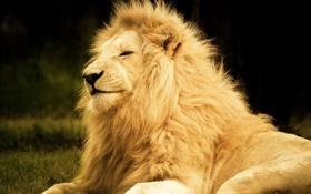 Картинка отдых, фотошоп, лев, мода, довольный