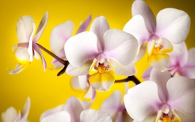 Обои цветы, желтый, фон, лепестки, белые, орхидеи