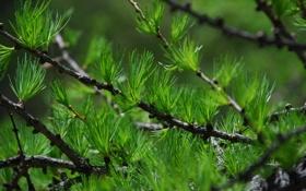 Обои иголки, ветка, лиственница