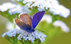Обои голубая, растение, бабочка, цветок, белый, синяя, зеленый