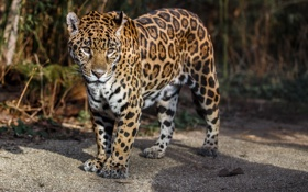 Обои пятна, дикая кошка, морда, хищник, ягуар