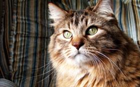 Обои кошка, Кот, норвежская лесная кошка