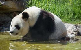 Обои медведь, купание, панда, водоём