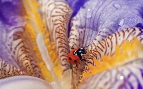 Картинка цветок, капли, макро, божья коровка, macro, ladybug, the flower drops