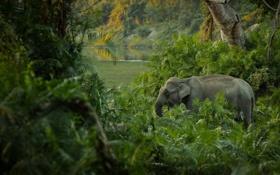 Обои зеленый, джунгли, слон, заросли
