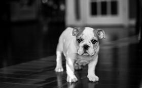 Картинка друг, собака, English Bulldog
