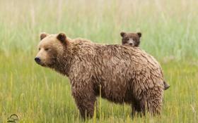 Картинка трава, медведи, луг, медвежонок, медведица, материнство