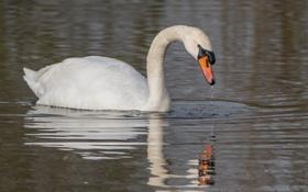 Картинка отражение, рябь, грация, лебедь, водоем, шея