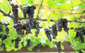 Обои листья, природа, зеленые, виноград, лоза, грозди