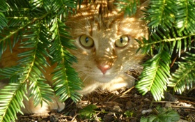 Обои кошка, кот, земля, рыжая, хвоя, прячется