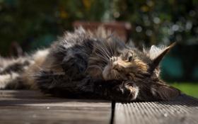 Картинка кошка, кот, отдых, утро, мейн-кун