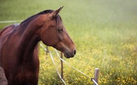 Обои лето, морда, конь, лошадь, луг, профиль, изгородь