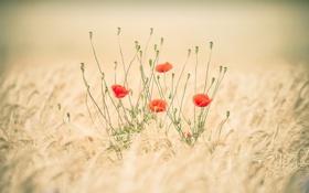 Картинка пшеница, поле, стебли, маки, красные, колосья, бутоны
