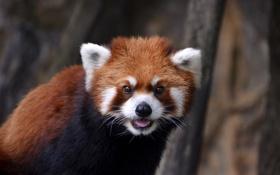 Обои глаза, шерсть, панда, firefox, мордашка, красная, малая