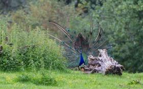 Картинка птица, перья, хвост, павлин, демонстрация