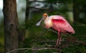 Обои природа, птица, roseate spoonbill