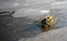 Картинка оса, насекомое, стебельчатобрюхие, перепончатокрылые, жалящие