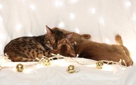 Картинка шарики, кошки, коты, гирлянда, спят, бенгальский