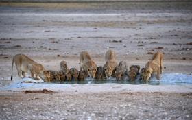 Картинка вода, кошки, жажда, львы, прайд