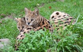 Картинка кошка, лето, трава, отдых, пара, сервал