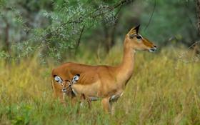 Картинка mammals, herbivores, Serengeti, Tanzania, grazers