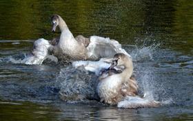 Картинка брызги, крылья, пара, лебеди, водоем