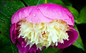 Картинка цветок, макро, утро, flower, macro, пион, morning dew