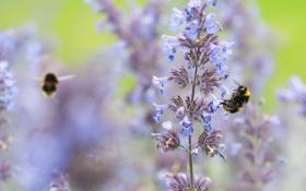 Картинка цветок, насекомое, шмель, растенение