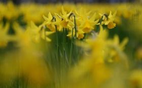 Картинка цветы, природа, желтые, лепестки, бутоны, нарциссы