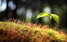 Обои роса, мох, Росток