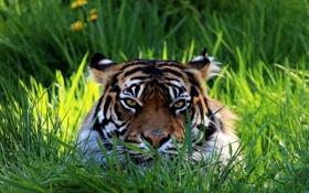Картинка тигр, морда, трава, взгляд