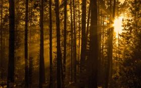 Картинка лес, лето, Природа, сепия, сосны, лучи Солнца