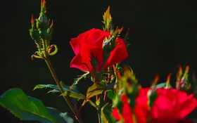 Обои листья, роза, куст, бутон