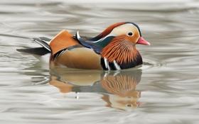 Обои цвета, отражение, река, пасмурно, окрас, утка, яркость